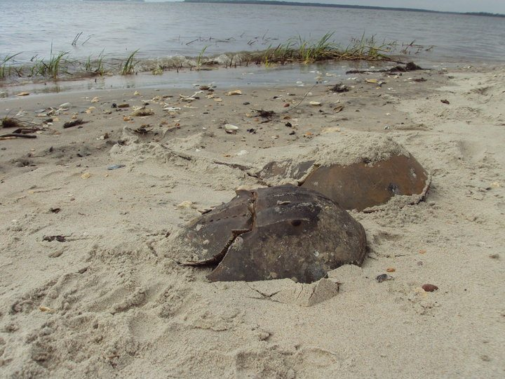 horseshoe crabs stranded at the beach